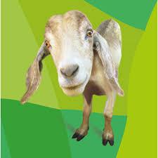 animali da cortile in regalo regala la capra oxfam italia