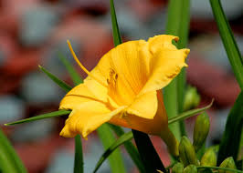 day lillies how to tell the difference between lilies and daylilies