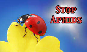 How To Find Ladybugs In Your Backyard How To Control Aphids On Milkweed Plants Monarch Butterfly