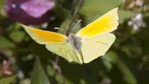 what does a yellow butterfly symbolize reference com