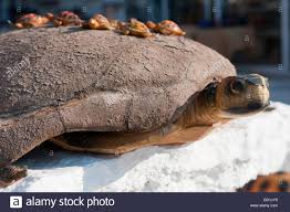 ornamental turtle with baby turtles for sale at lake kournas