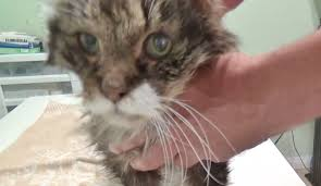 22 year old maine coon cats last day euthanasia youtube