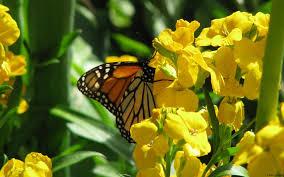 animals butterfly on flowers desktop wallpaper nr 59684 by