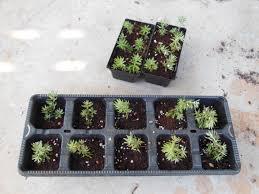 propagating australian native plants westringia fruticosa u2013 native australian rosemary u2013 cuttings in