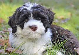 afghan hound adoption florida portuguese water dog puppies for sale akc puppyfinder