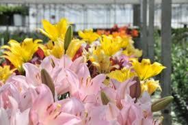 flowers delivered tomorrow summertime lemonade lilies flowerbud
