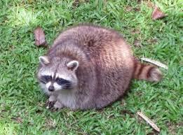Meme Generator Raccoon - 15 overwatch memes to enjoy before they get nerfed dorkly post