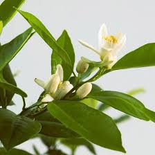 Fragrant Indoor House Plants - 18 best images about i love house plants on pinterest allergies