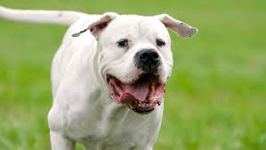 5 things to know about the dogo argentino petful