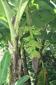 nica life 7 backyard fruit trees boersemas in nicaragua