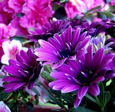 fiori viola fiori color viola kwckranen