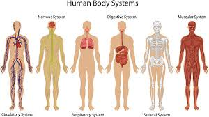 Photos Of Human Anatomy Human Anatomy Clip Art Vector Images U0026 Illustrations Istock