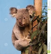 Eucalyptus Trees Eucalyptus Branch Stock Photos Images U0026 Pictures 2 634 Images