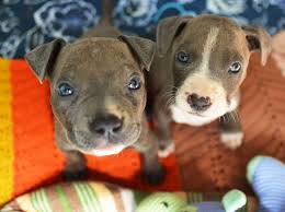 land of giants american pitbull terriers abused puppies rescued from rail tracks times union