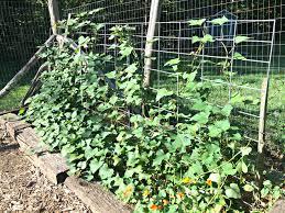 growing sweet potatoes u2013 farm fresh for life u2013 real food for