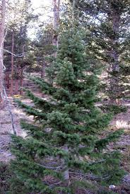 douglas fir tree rocky mountain bushcraft rocky mountain tree identification