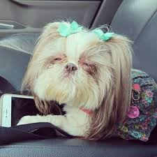 shih tzu with curly hair 143 best shih tzu images on pinterest little dogs shih tzus and