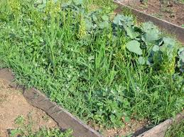 Different Types Of Garden Hoes In My Kitchen Garden How To Use A Scuffle Hoe To Weed The