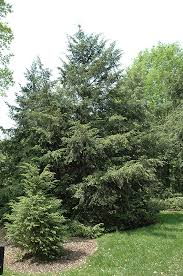 canadian hemlock tsuga canadensis in macomb michigan mi at