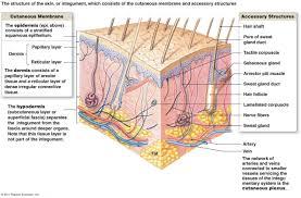 Human Anatomy Integumentary System Human Body Anatomy Integumentary System Diagram Anatomy Diagram Pics