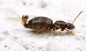 Ants In The Bathroom by Rover Ants Brachymyrmex Patagonicus An Emerging Pest Species