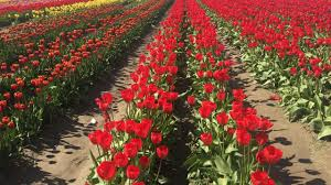 what to do at the skagit valley tulip festival travel channel