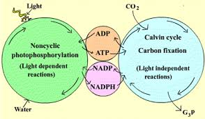Where Do The Light Independent Reactions Occur Light Dependent Reactions Photsynthesis Made Simple