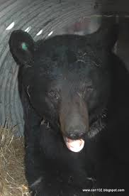 backyard beasts 2012 black bear season begins