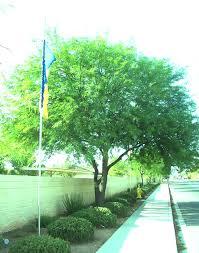 great medium sized trees for las vegas gardening on mars