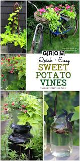 Container Gardening Potatoes - try sweet potato vines to add some all season color to your mix