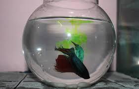 Beta Fish In Vase Betta Fish Bowl 25 Best Betta Fish Bowl Ideas On Pinterest Vase