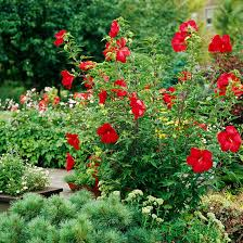 big perennials for big impact perennials hibiscus and tropical