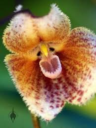 monkey orchids aboutorchids archive monkey orchids welcome the year of