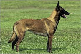 belgian shepherd dog temperament belgian malinois facts pictures puppies temperament breeders