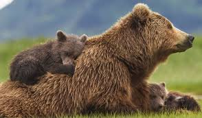 Animal Planet Documentary Grizzly Bears Full Documentaries - bears movie review another winning documentary from disney nature