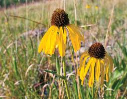 24 best native iowa plants images on pinterest native plants compatible adaptable coneflowers missouri department of