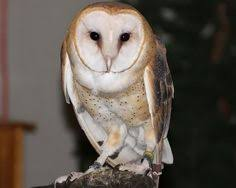 North American Barn Owl Tasmanian Masked Owl There Are At Least 35 Species Of Barn Owls