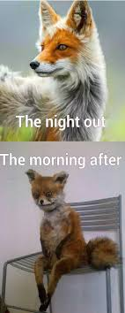Taxidermy Fox Meme - fox in night out vs morning after pictures