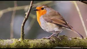 4 hours of birdsong robin bird song nature sounds