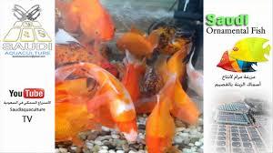saudi ornamental fish 04 مزارع اسماك الزينة السعودية