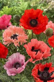 do all poppies create opioids that can be harvested plants