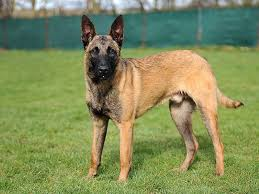belgian shepherd or malinois stunning belgian shepherd dog for sale sheffield south