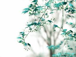 dreamy tree photograph whispers blue maple leaves teal