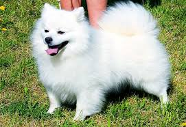 american eskimo dog black american eskimo dog breed info characteristics traits