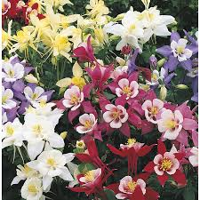 Columbine Plant Shop 2 5 Quart Columbine L4950 At Lowes Com