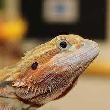 bearded dragon pogona vitticeps evolution reptiles