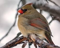 backyard birds december 31 the millstone