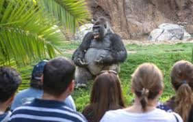 this gorilla looks like he decided to have his undergraduate