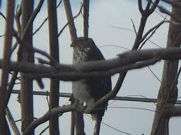 cooper u0027s hawk in our backyard nature at it u0027s best pinterest