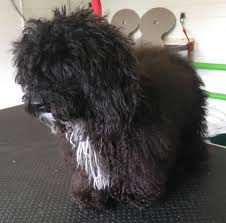 affenpinscher good bad the groomers leigh dogs and cats home